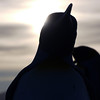King penguin silhouette on the beach at sunrise on the Salisbury Plain, South Georgia