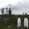 King penguins on the hillside at St Andrew's Bay, South Georgia