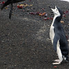 Skua attacks and kills a weakened chinstrap penguin on the beach at Deception Island, South Shetland Islands, Antarctica