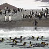 King penguins on the beach and in the water at the Salisbury Plain, South Georgia