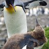 King penguin mother and adolescent chick at St Andrew's Bay, South Georgia