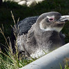 Magellanic penguin chick on Carcass Island, Falkland Islands
