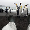Enticing king penguins on the beach in the rain at Right Whale Bay, South Georgia