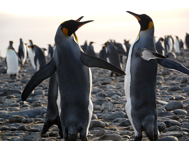 King penguins fighting for a mate on the Salisbury Plain, South Georgia