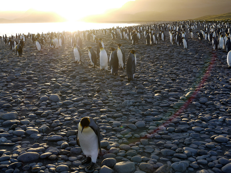 A solitary dejected king penguin trails a sunrise rainbow path along the beach at the Salisbury Plain, South Georgia