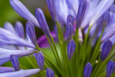 Agapanthus Blossom 3