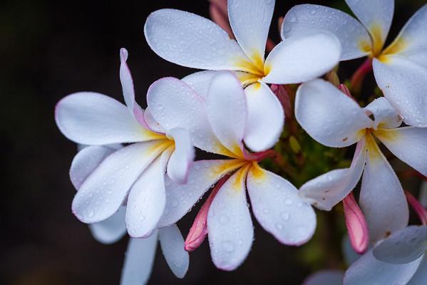Plumeria Rain