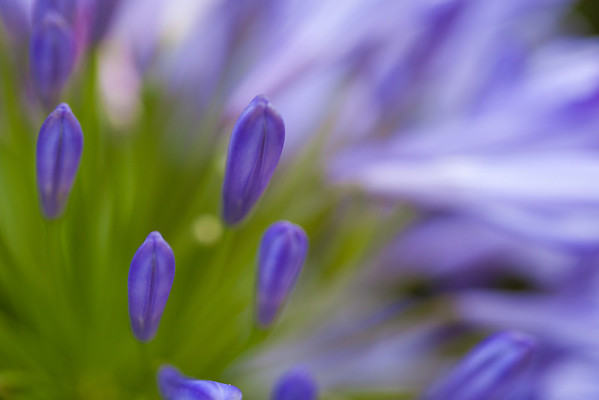 Agapanthus Blossom 1