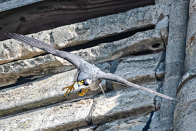 Adult Peregrine leaving the nest