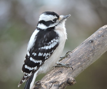 Downey Woodpecker (female)