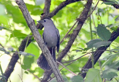 Grey Catbird at Cuivre River State Park