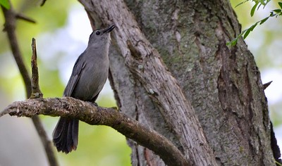 Grey Catbird at Cuiver River Park