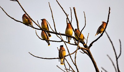 Cedar Waxwings Early evening at Cuivre River Park. There were about 20-25
