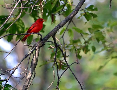 Summer Tanager Two pairs at Cuivre River Park