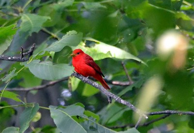 Summer Tanager - I have observed him and his mate daily for about two weeks.
