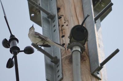 Northern Mockingbird (Weldon Springs Interpretive Center)