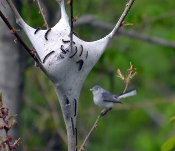Blue gray Gnatcatcher (Cuivre River State Park)