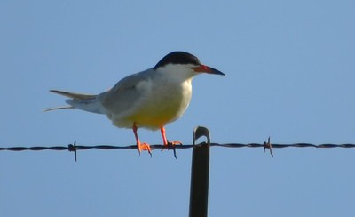 Forster's Tern or Common Tern? (On roadside near Cuivre River SP next to large man-made body of water)