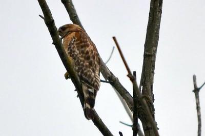 Red Shouldered Hawk (Cuivre River State Park)