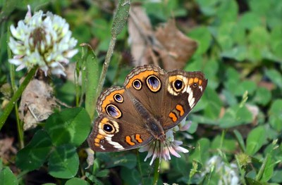 Common Buckeye (Lost Valley Trail)