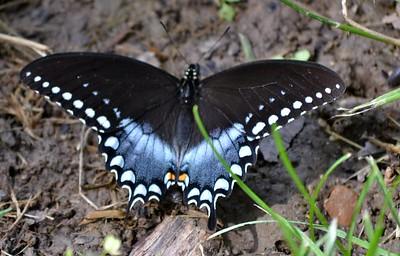 Spicebush Swallowtail (Cuivre River SP)