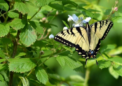 Tiger Swallowtail (Lost Valley Trail)