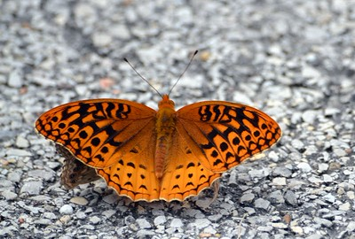 Great Spangled Fritillary (Cuivre River SP)