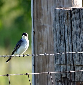 Eastern Kingbird (Cuivre River SP)