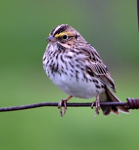 Savannah Sparrow (Yellowish on front of eyebrow is diagnostic) Frenchman's Bluff road