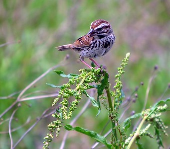 Song Sparrow  (Weldon Springs Interpretive Center - behind the headquarters building)
