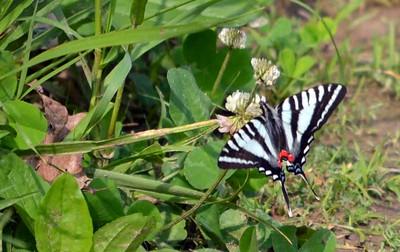 Zebra Swallowtail (Lost Valley Trail)