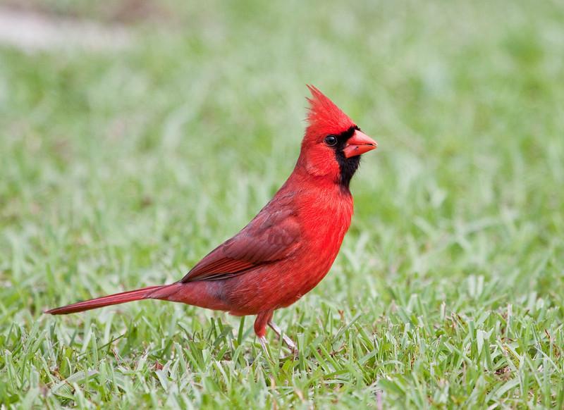 Northern Cardinal- Male  IMG_1437