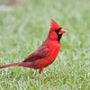 Northern Cardinal- Male  IMG_1437