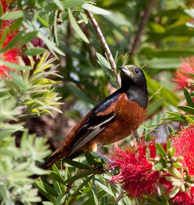Orchard Oriole- Male  IMG_1457