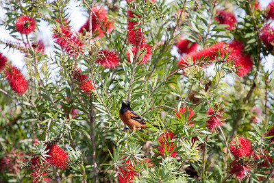 Bottle Brush Plant- The birds really liked the berries on this bush.  It attracted so many different birds.  This was the first time that I had seen this plant. IMG_1473