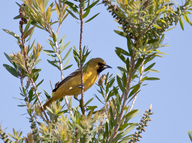 First Spring Male-  This reminded me of the American goldfinch, but this one had a black bread and goldfinches do not.IMG_1494