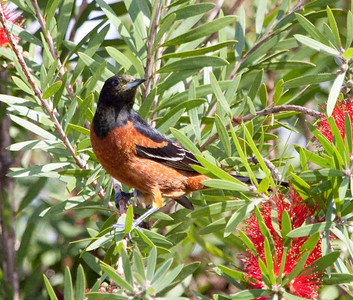 Orchard Oriole- Male-  I saw this bird while visiting my mother-in-law at the Bluewater Manor. It was the first time that I have ever seen this bird.  I had to look it up in my bird book.  IMG_1475
