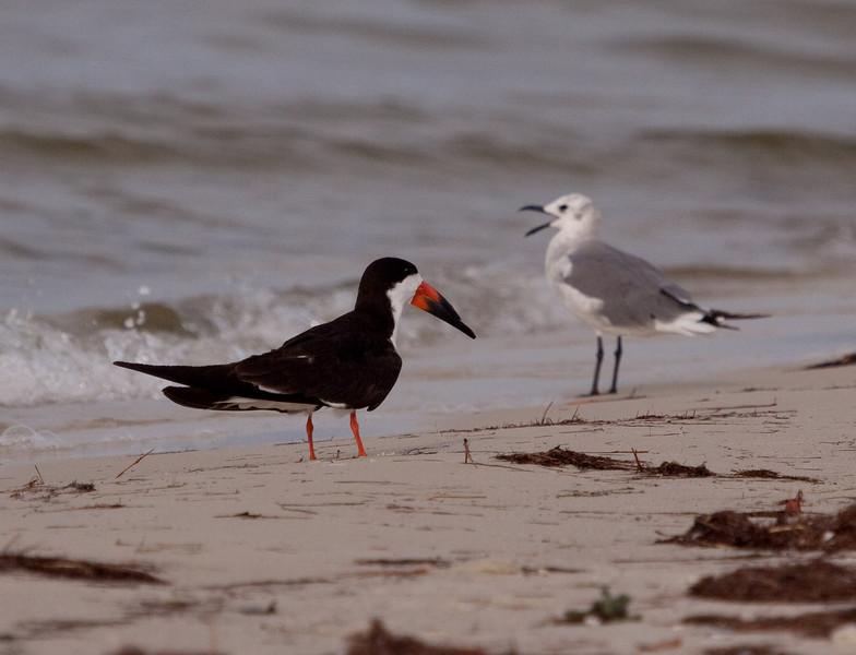 Black Skimmer and a Second winter Laughing Gull