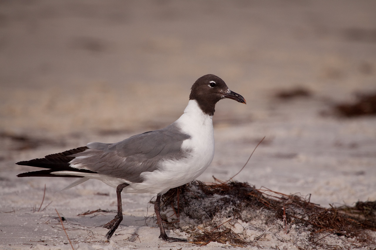 Laughing Gull-  Named for its laughterlike call.