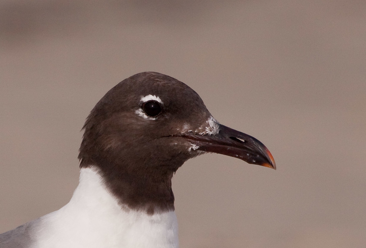 Head Portrait of the Adult Laughing Gull- Notice the red in his beak