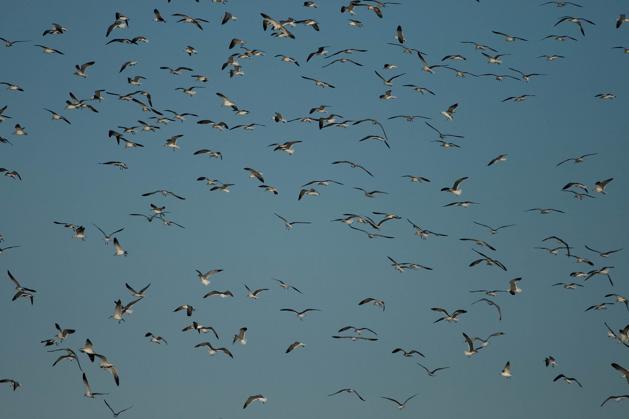 From about Jan-April, we have a flock of laughing gulls that stay close to Bayshore Dr.  I have seen neighbors throwing  food to them.  The gulls really cause a stir and you can hear them a block away feasting on the food.