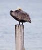 Brown Pelican at Lincoln Park in Valparaiso, Fl.