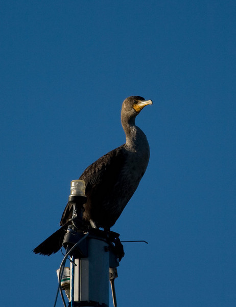 This is a Double-Crested Cormorant.  They have found a home on top of the mask of a sailboat that is docked in the bay.  I have seen at least 3 Cormorants on the boat at one time.