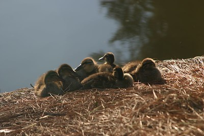 Baby ducks getting warmed by the sun