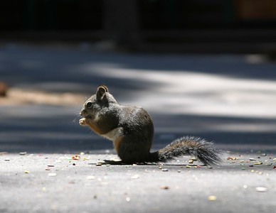 Grey Squirrel chowing down