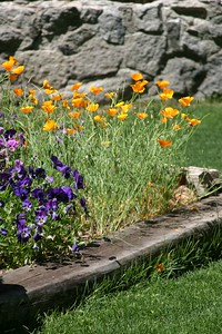 Golden California Poppies