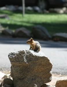Chipmunk sentry