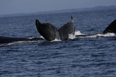 Humpbacks in Strait/Fuca