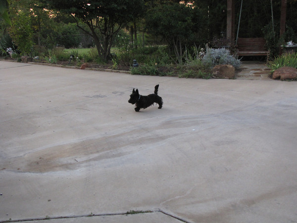 Scotty Jock! Our newest boy premiering with first litters in 2012!