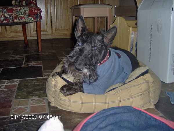 MAXWELL SMART THE SCOT - We miss you sweet boy!